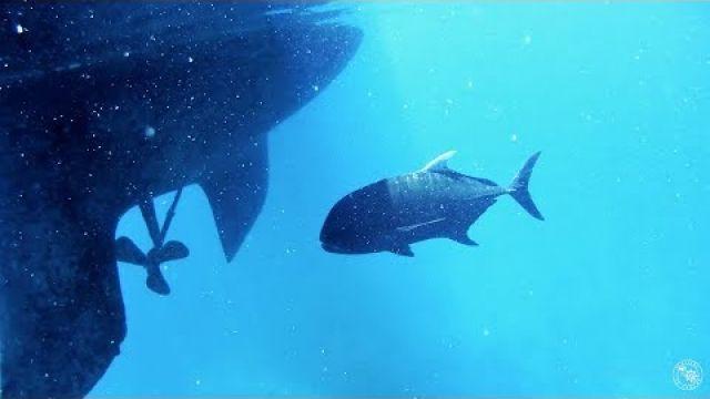 Meet Bazza the GT - Guardian of Bait Reef! (Sailing SV Sarean) EP. 19